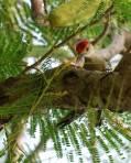 Red-bellied Woodpecker at Breakfast