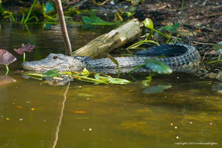 Dry Season Alligator