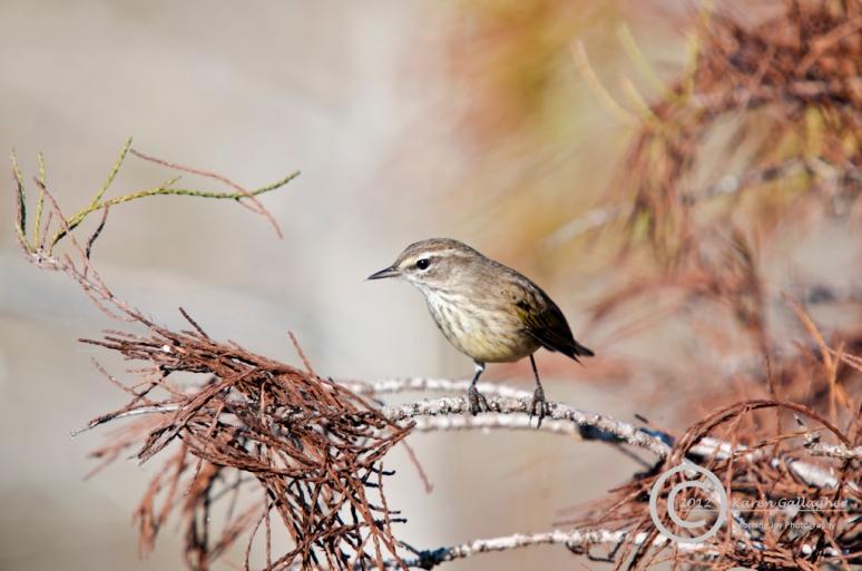 Palm Warbler-